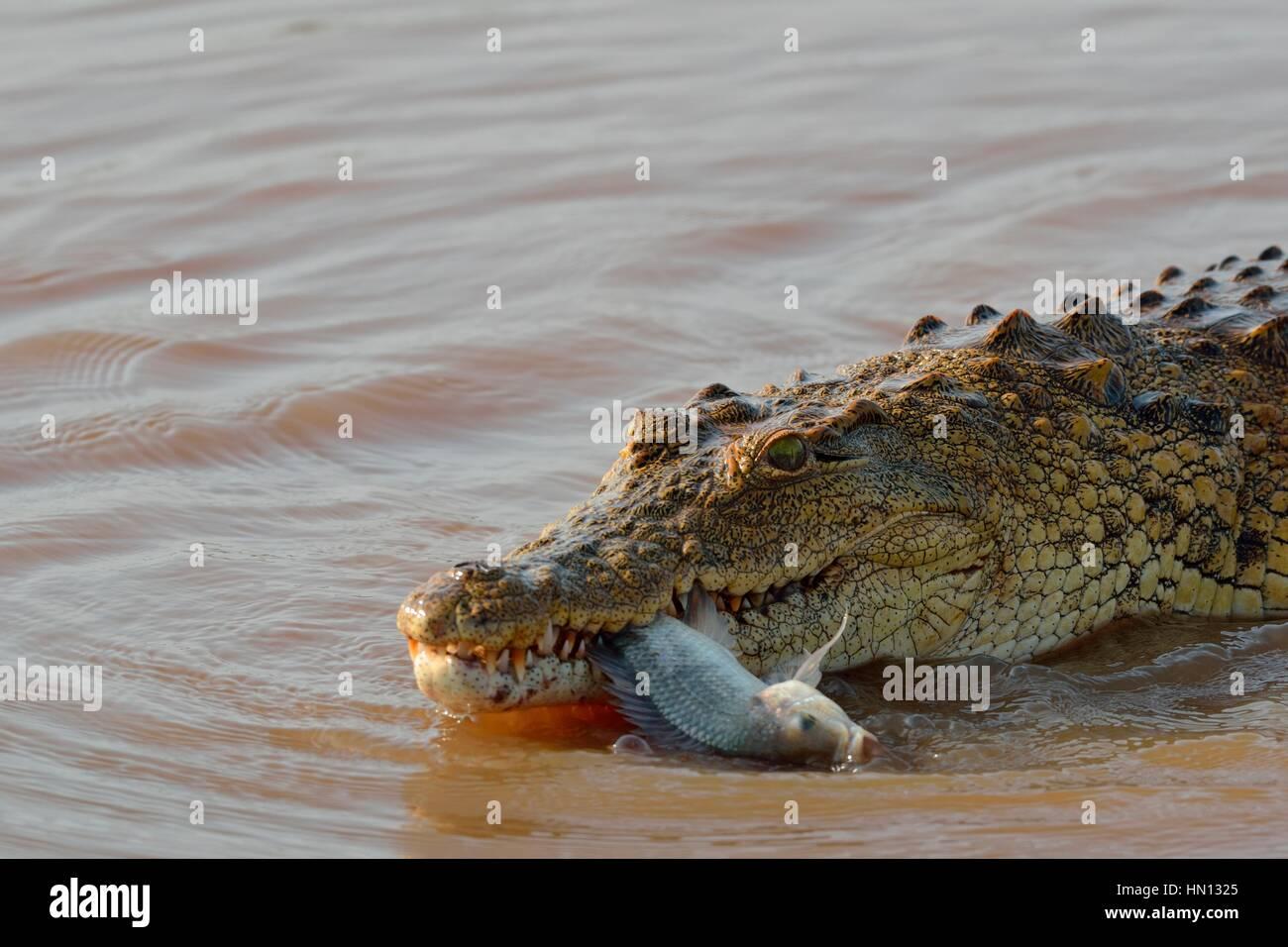 Nil-Krokodil (Crocodylus Niloticus) mit Fisch noch lebendig in seinen Mund, Sunset Dam, Kruger National Park, Mpumalanga, Stockbild