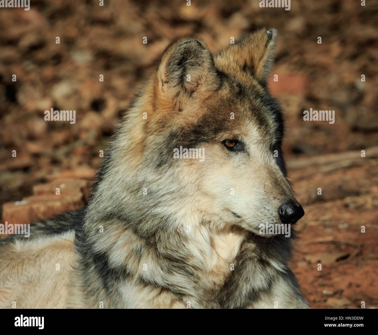 Eine mexikanische Grey Wolf aus dem Oklahoma City Zoo. Stockbild