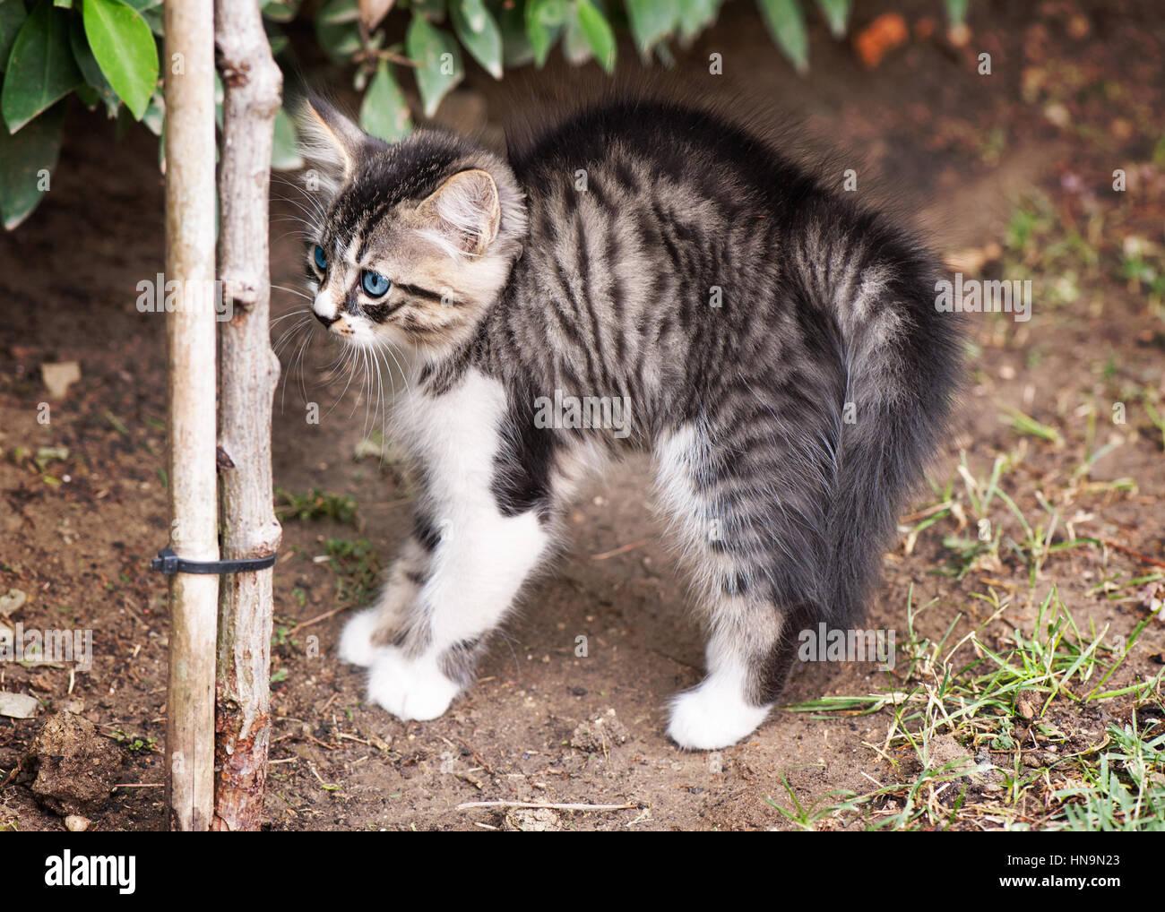 Tabby Kitten draußen spielen Stockbild
