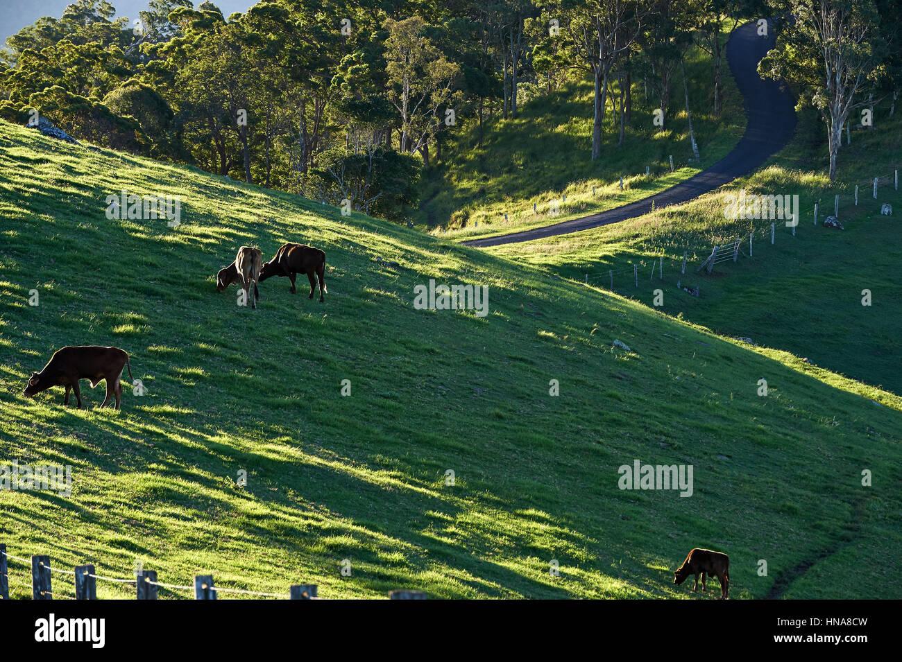 Rinder weiden am Hang mit Bitumen Straße im Hintergrund Stockbild