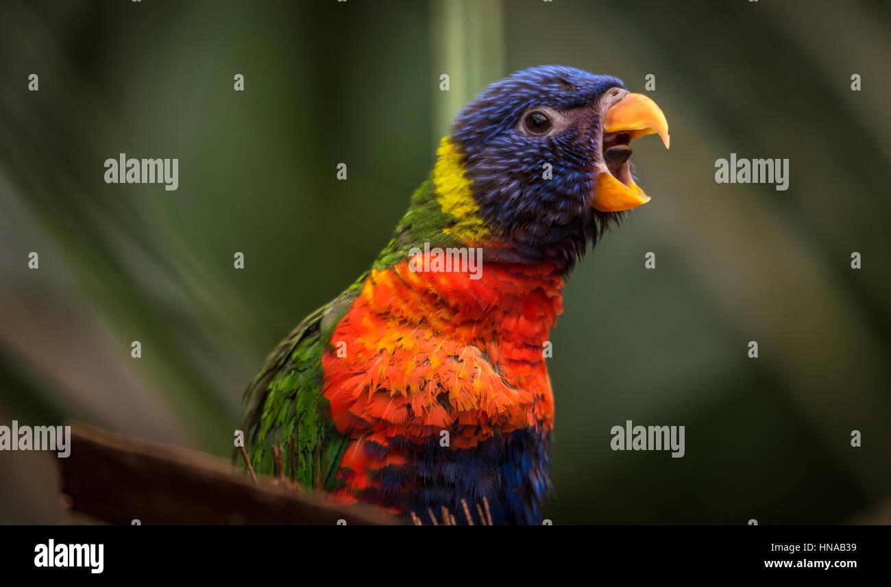 Der Regenbogen-Lori (Trichoglossus Moluccanus) eine Art von Papagei in Australien lebt. Der Vogel ist ein mittlerer Stockbild
