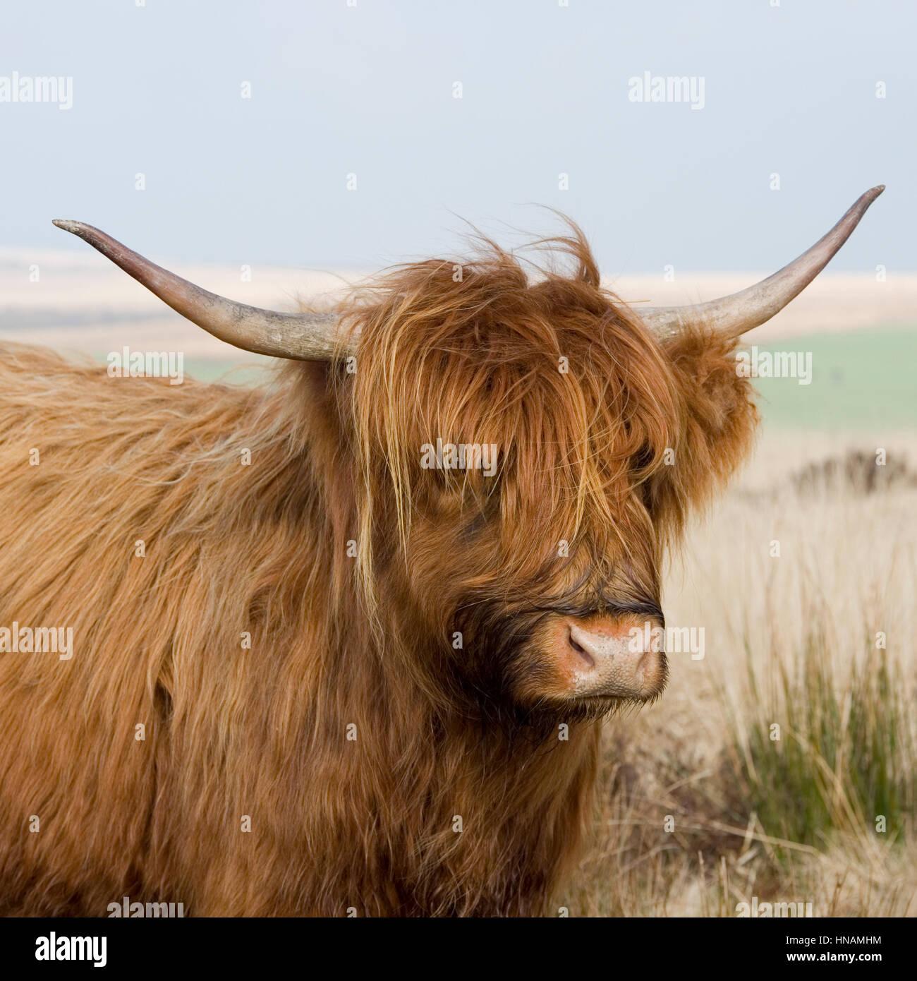 Highland-Kuh Stockbild