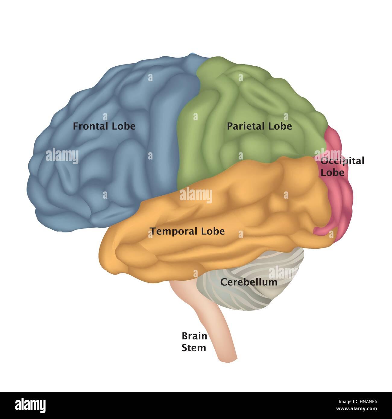 Die Anatomie des Gehirns. menschliche Gehirn laterale Ansicht ...
