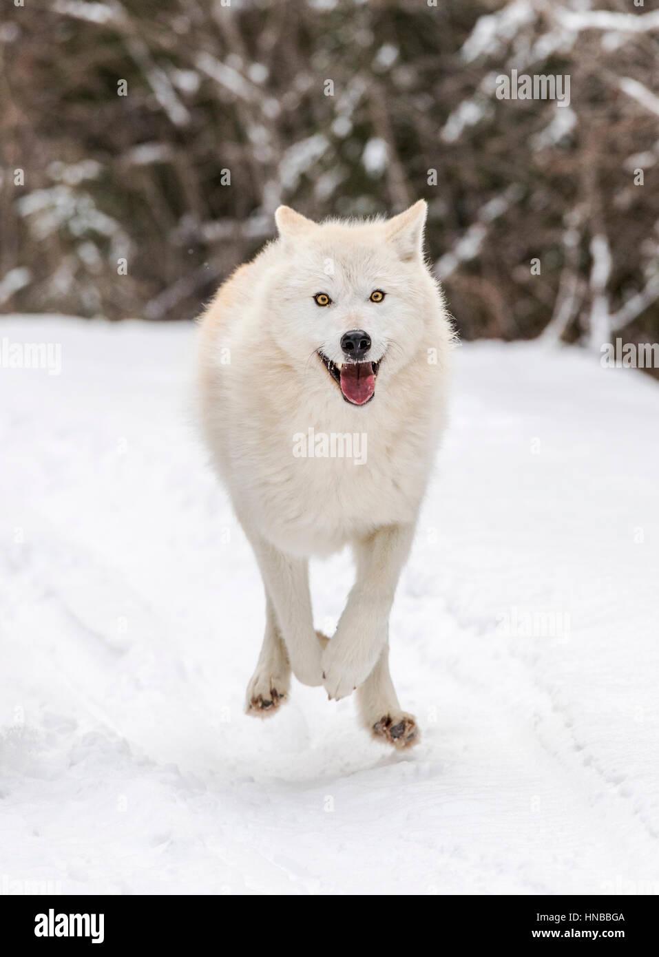 Grauer Wolf; Canus Lupus; Britisch-Kolumbien; Kanada Stockfoto