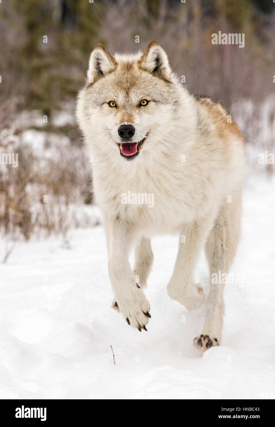 Grauer Wolf; Canus Lupus; Britisch-Kolumbien; Kanada Stockbild