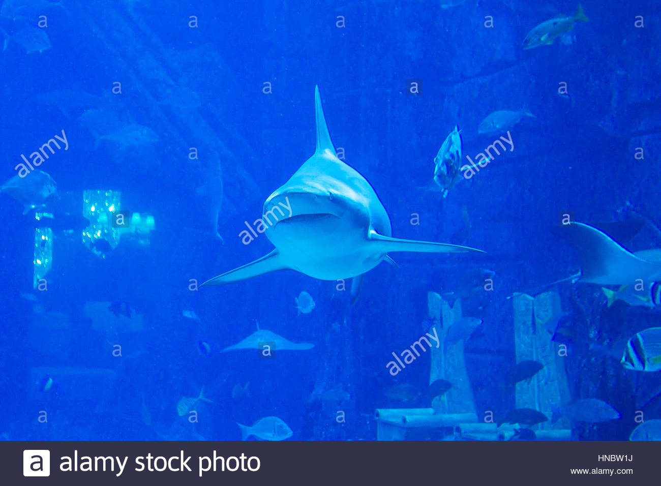 Ein Hai schwimmen direkt auf die Kamera bei Lost Chambers, Unterwasser Meeresaquarium voller Meeresleben im Atlantis Stockbild