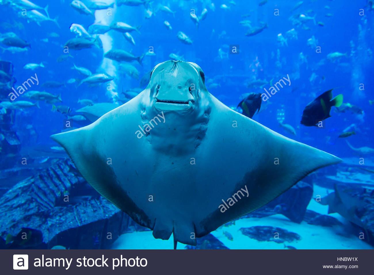 Nahaufnahme des Bauches ein Stachelrochen am Lost Chambers, ein Unterwasser-Meeresaquarium voller Meeresleben im Stockbild