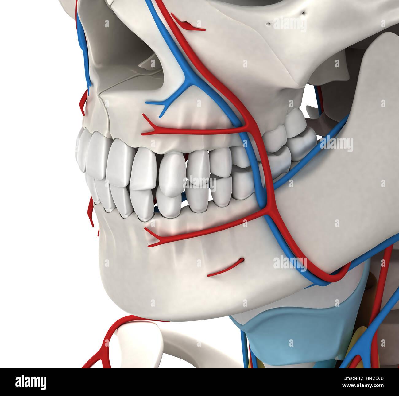 Gemütlich 3d Kopf Und Hals Anatomie Für Zahnmedizin Bilder ...