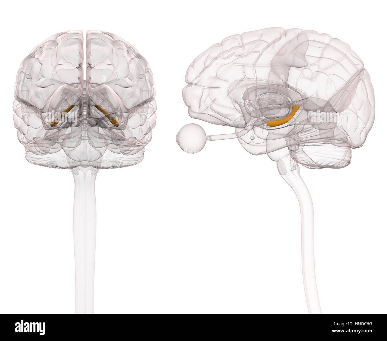 Anatomie des Gehirns Hippocampus - 3D-Illustration Stockfoto, Bild ...
