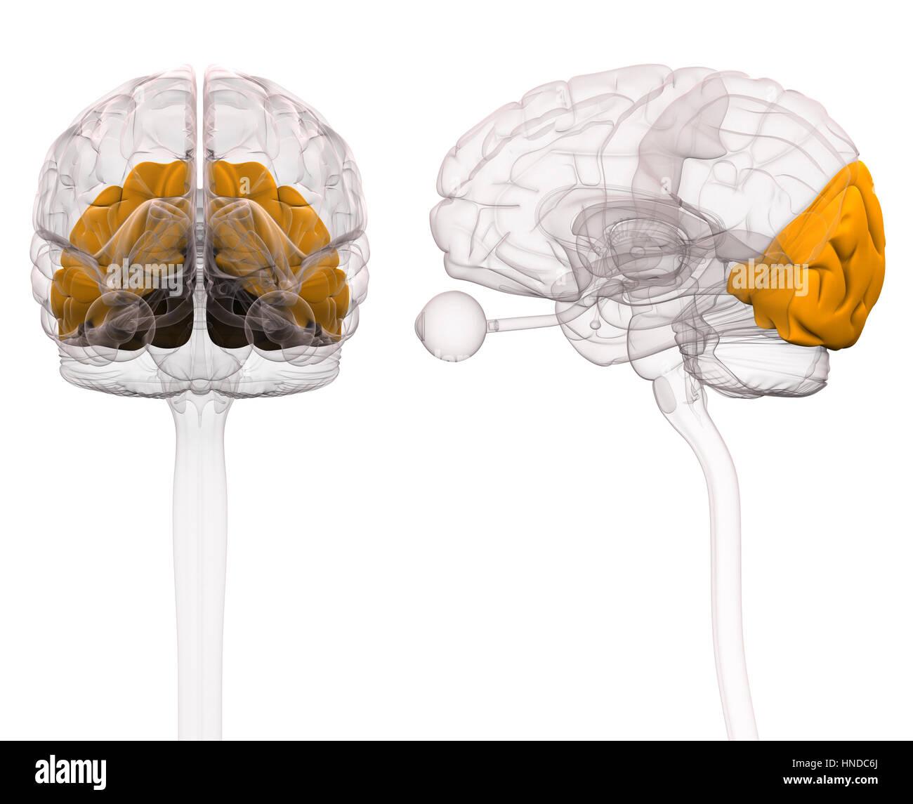 Amygdala Brain Stockfotos & Amygdala Brain Bilder - Alamy
