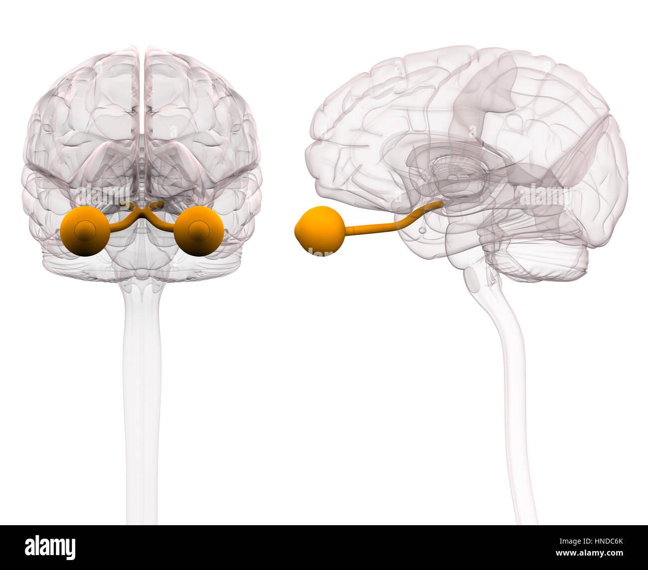 Optischen Nerven Gehirn Anatomie - 3D-Illustration Stockfoto, Bild ...