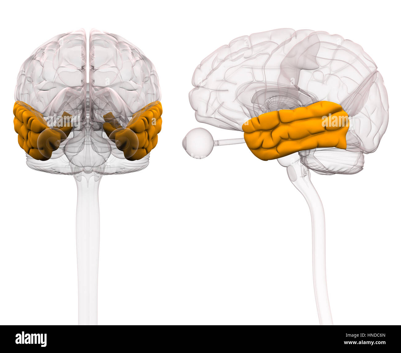 Anatomie des Gehirns Temporallappen - 3D-Illustration Stockfoto ...