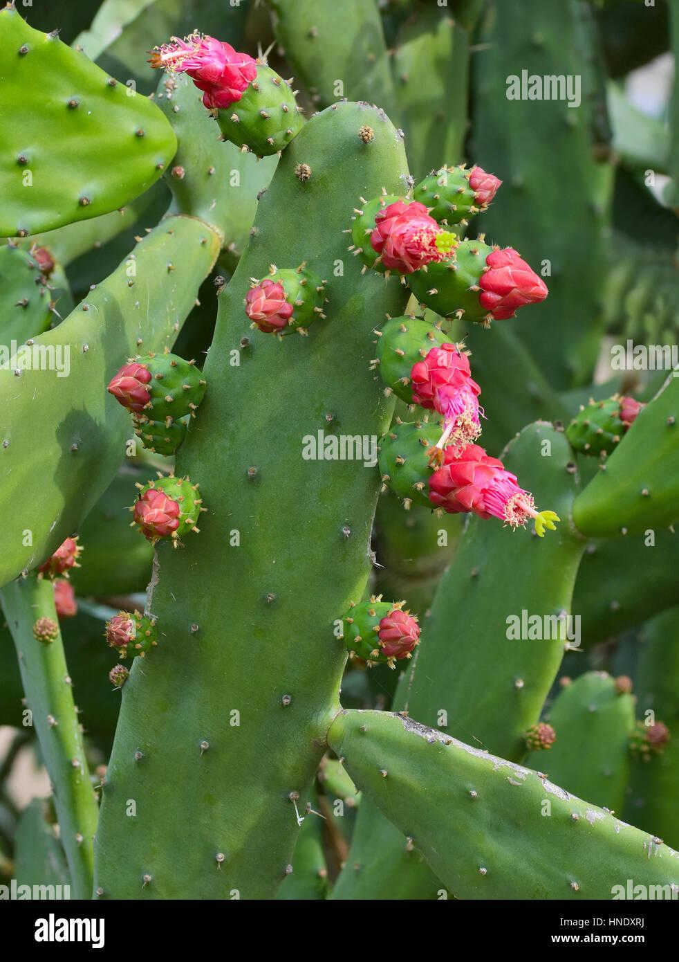 Nahaufnahme von Opuntia Kakteen mit roten Blumen Stockbild