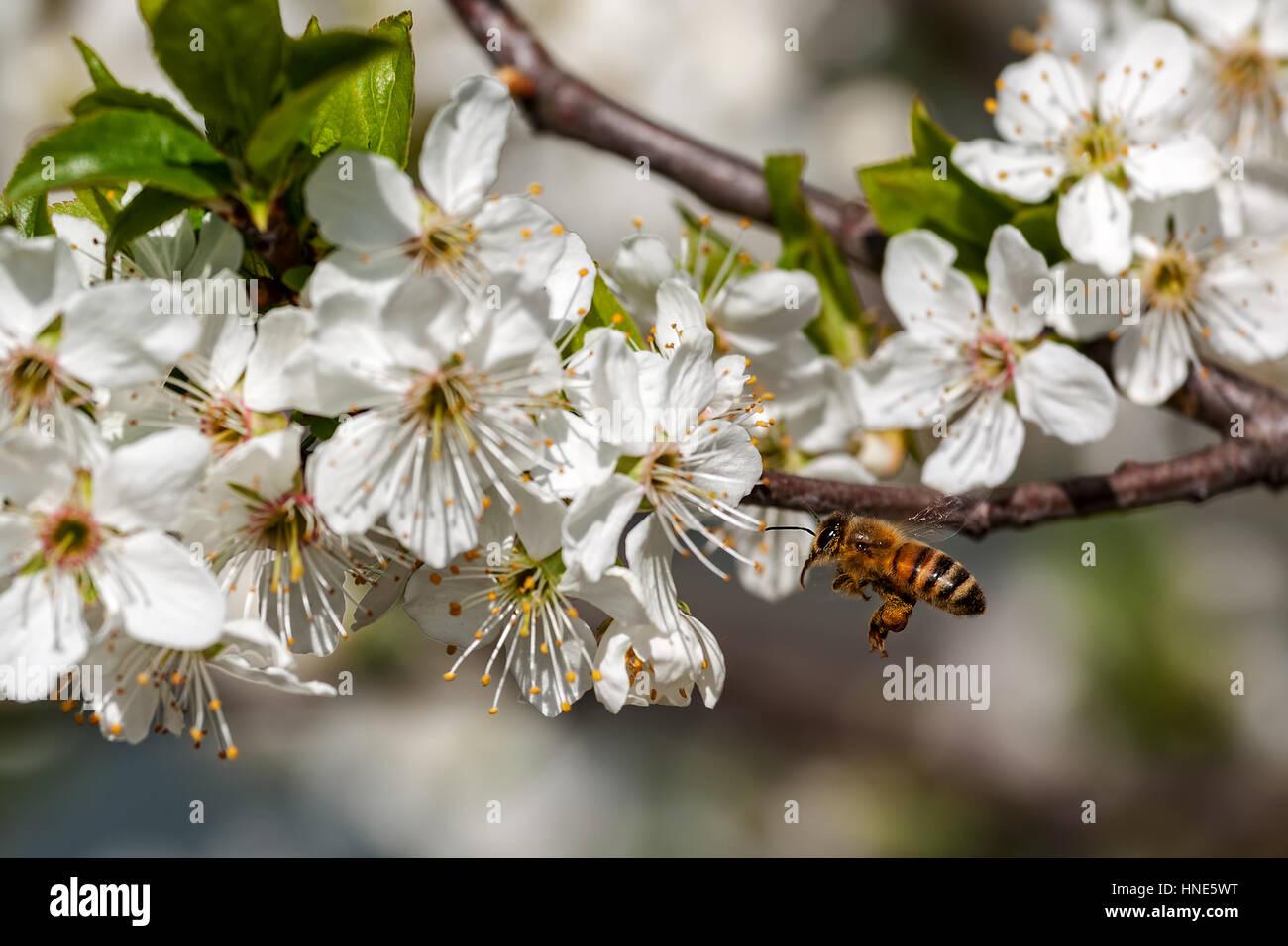 Biene fliegt in Richtung weiße Blüten auf blühenden Bäumen um Pollen zu sammeln. Stockbild