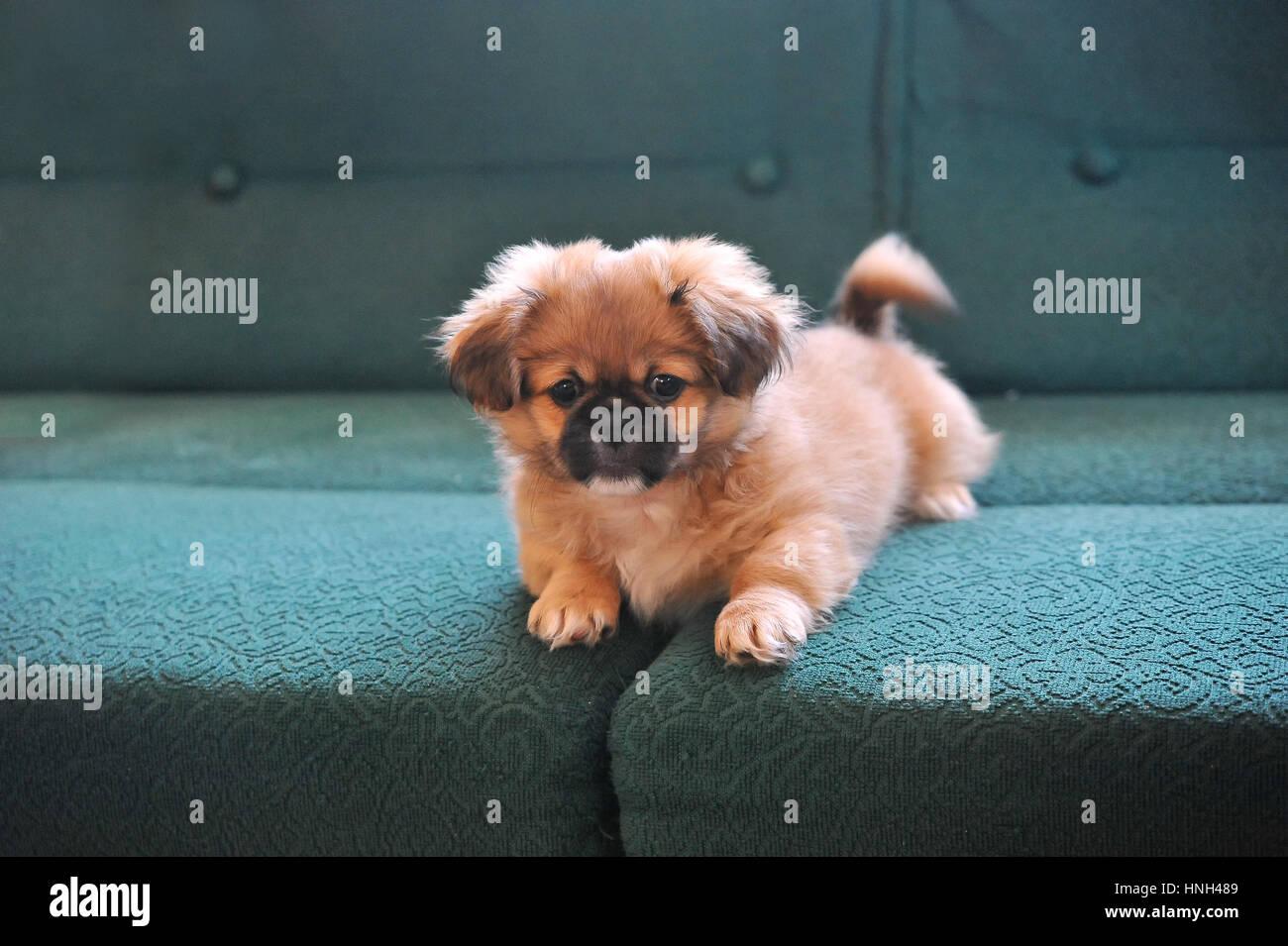 Pekinese Hund Mode Schöne Kleine Hunde Angezogen Und Posiert
