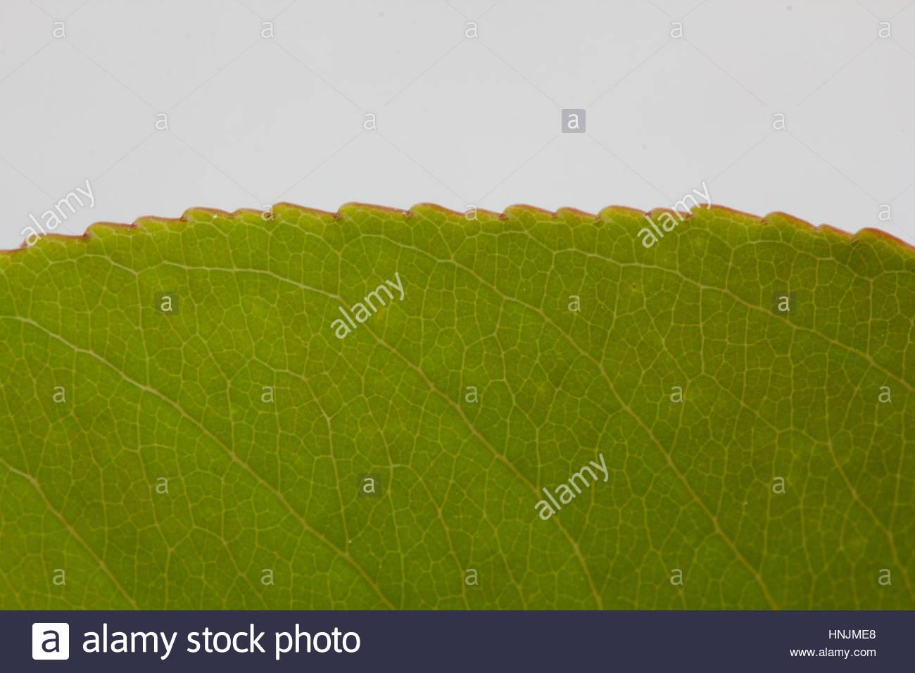 Leaf Margin With Stockfotos & Leaf Margin With Bilder - Alamy