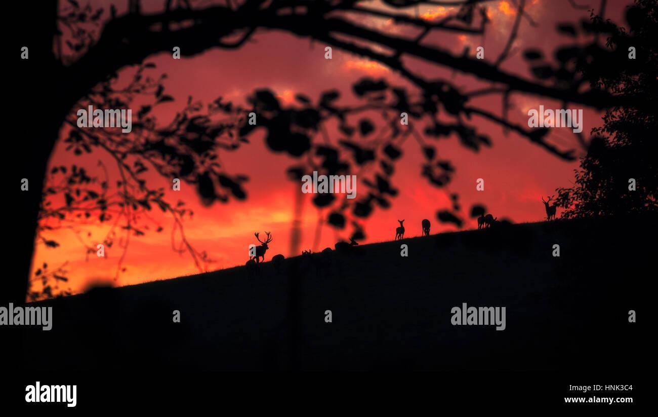 Eine Herde Rehe grasen auf einer Anhöhe in einem feurigen Sonnenuntergang Stockbild
