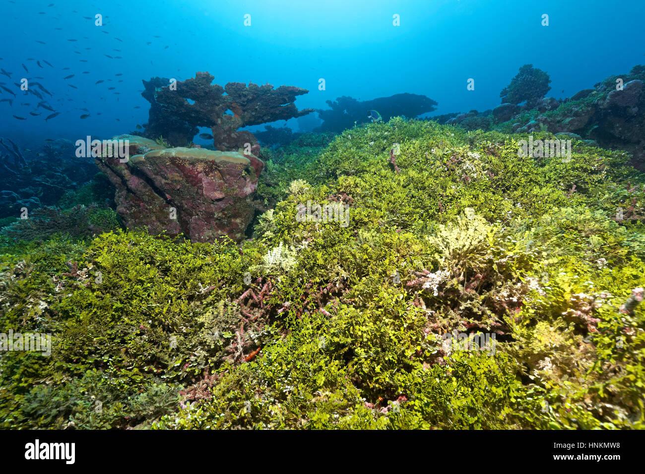 Korallenriff, Verschmutzung, Halimeda Algen (Halimeda Copiosa), Indischer Ozean, Malediven Stockbild