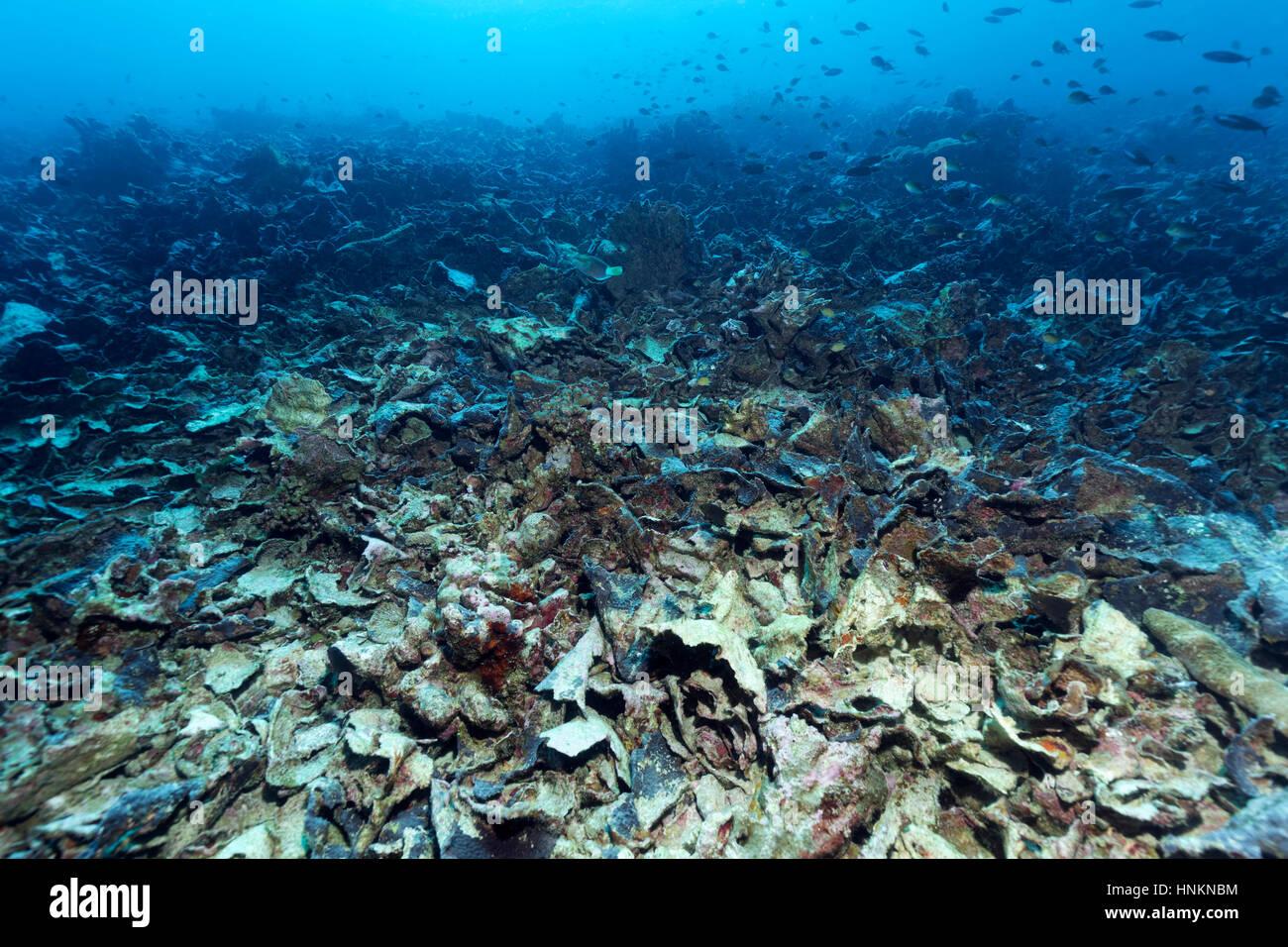 Klimaphänomen El Niño, Korallenriff, zerstört durch Korallen bleichen und Dornenkronen Seestern, Stockbild