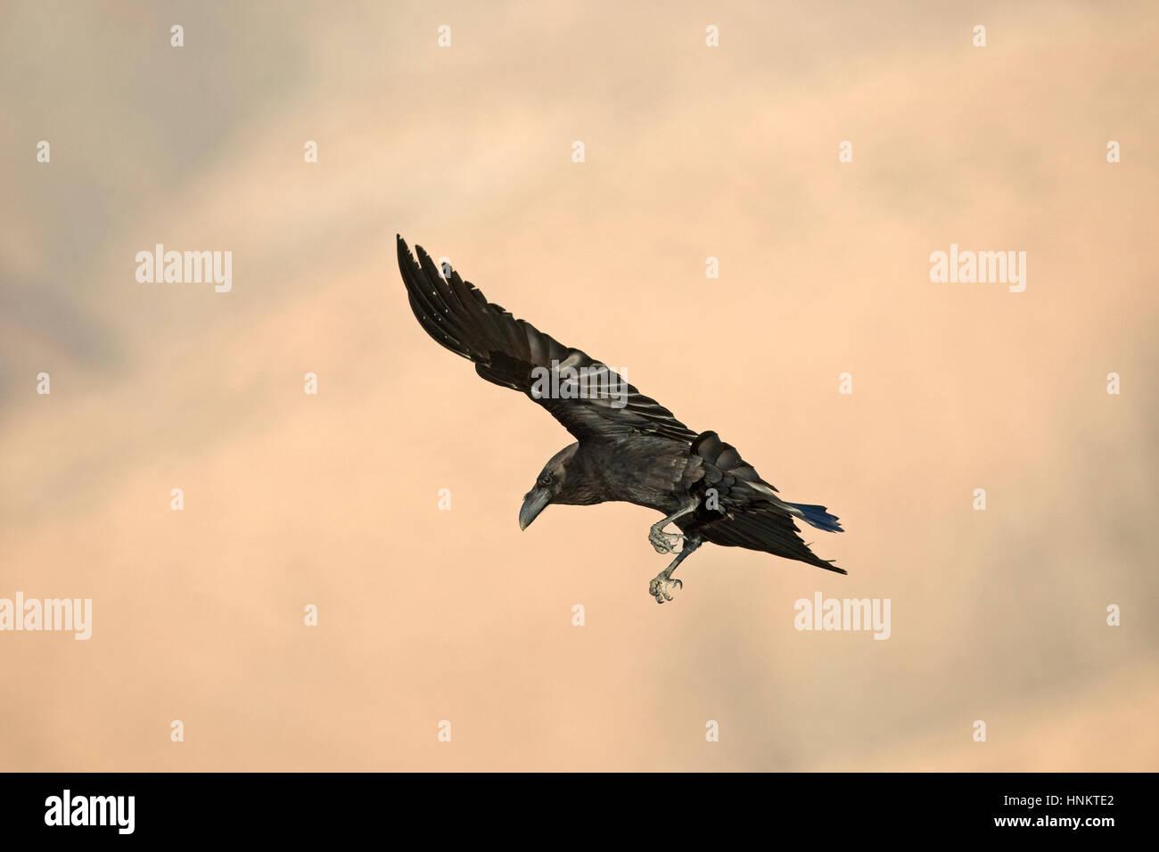 Kanarischen Inseln Raven - Corvus Corax tingitanus Stockfoto
