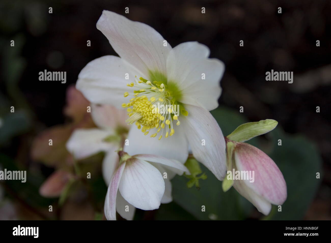 helleborus niger christmas carol blumen im dezember bis februar christrose stockfoto bild. Black Bedroom Furniture Sets. Home Design Ideas