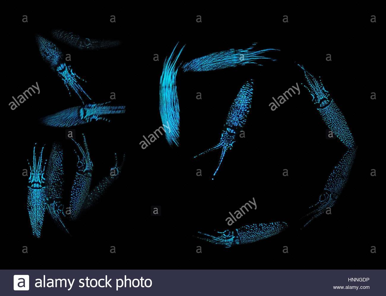 Das Leuchten der Glühwürmchen Tintenfisch macht sie sichtbar in ...