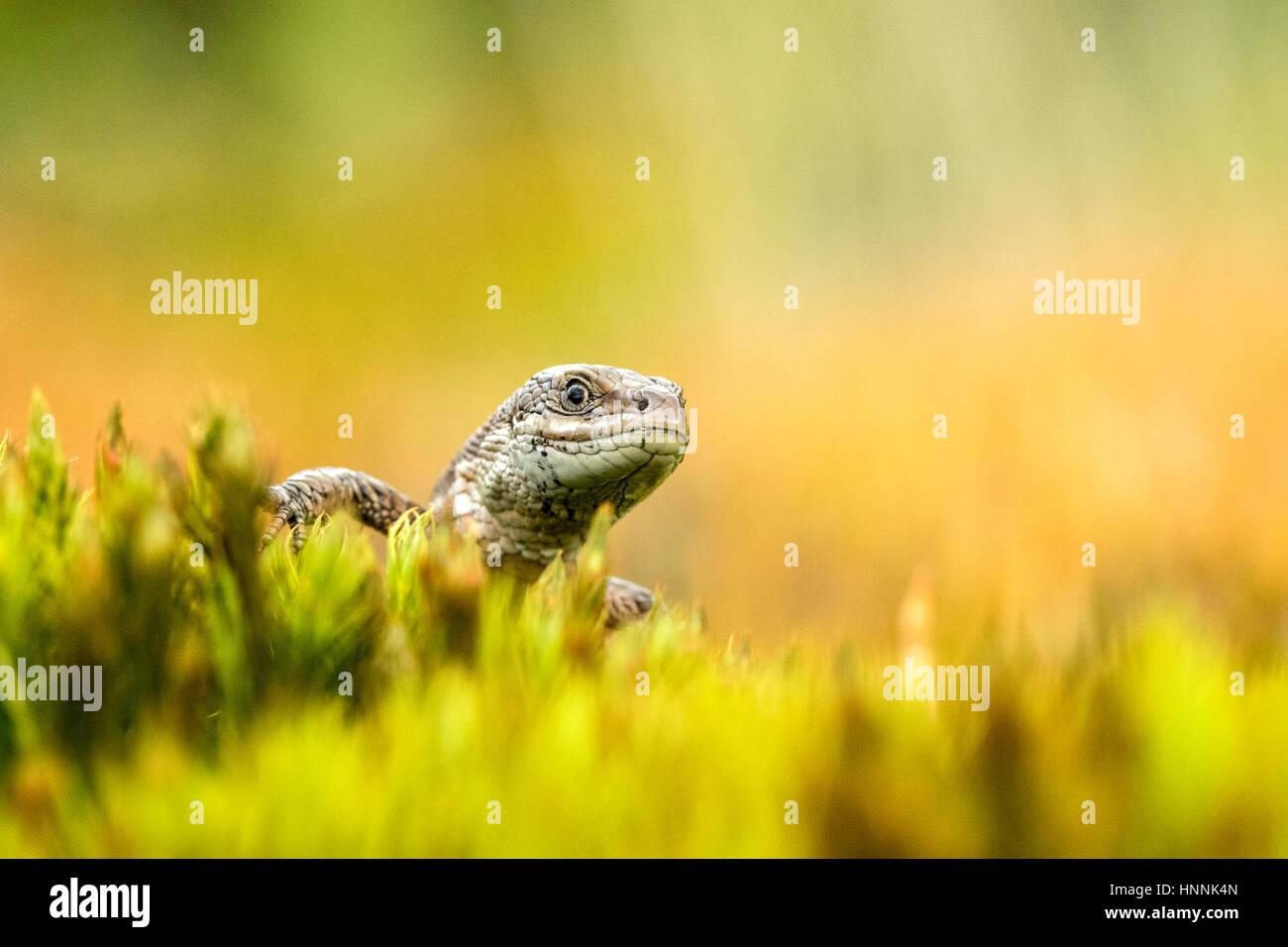 Gemeinen Eidechse (Zootoca Vivipara) Stockfoto