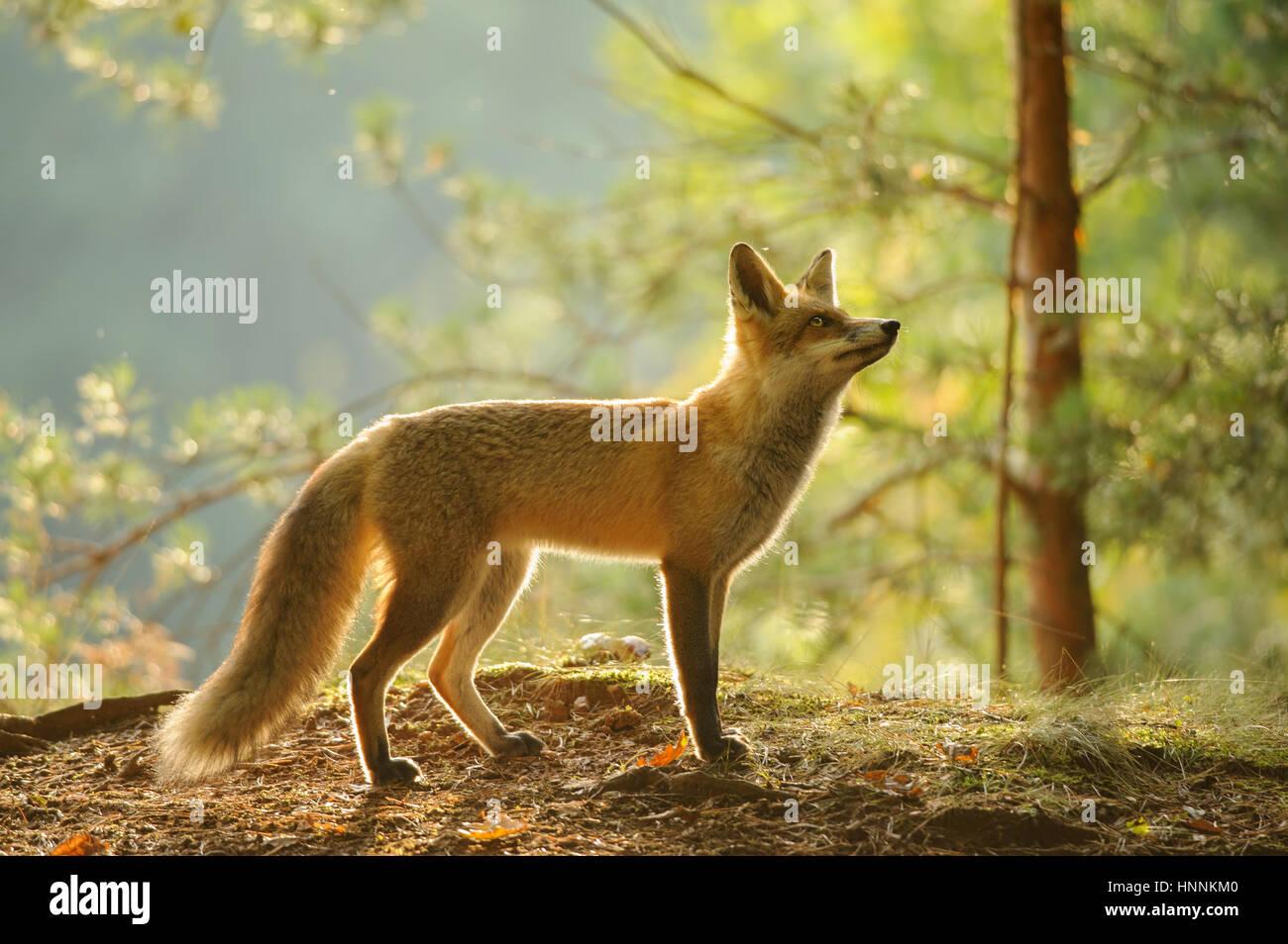 Rotfuchs aus Seitenansicht in Schönheit Hintergrundbeleuchtung im herbstlichen Wald mit Baum im Hintergrund Stockbild