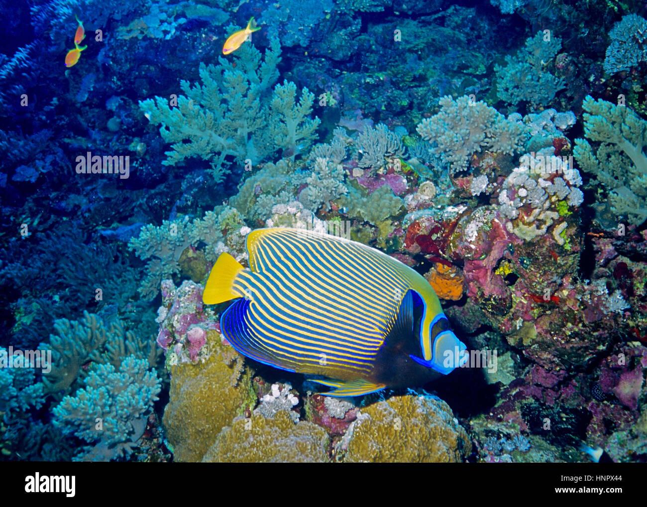 Ein Kaiser-Kaiserfisch (Pomacanthus Imperator) neben einem Korallenriff.  Berühmt für die Schönheit Stockbild