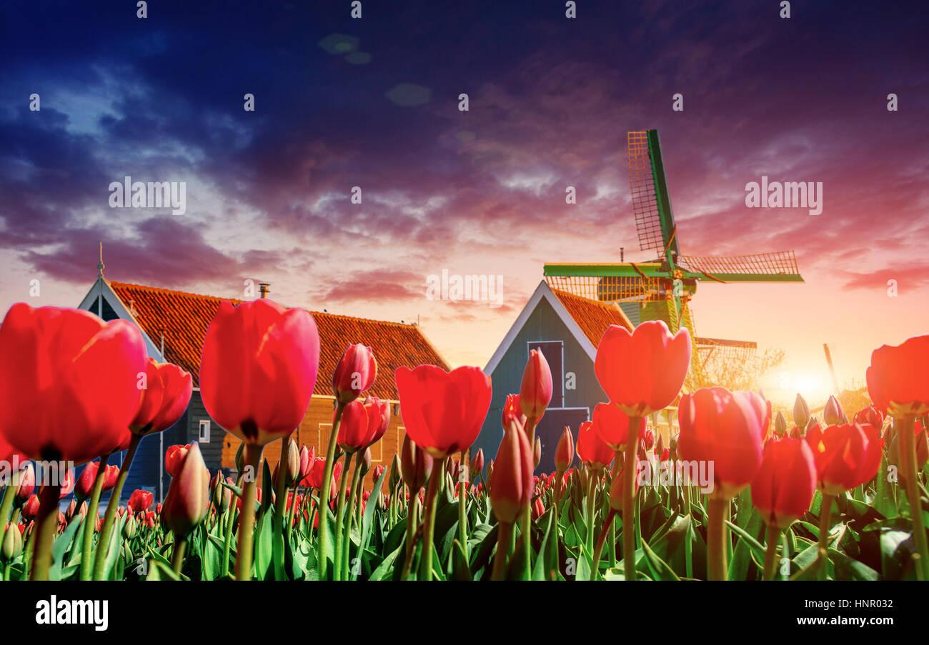 zauberhafte Landschaft der Tulpen und Windmühlen in den Niederlanden Stockbild