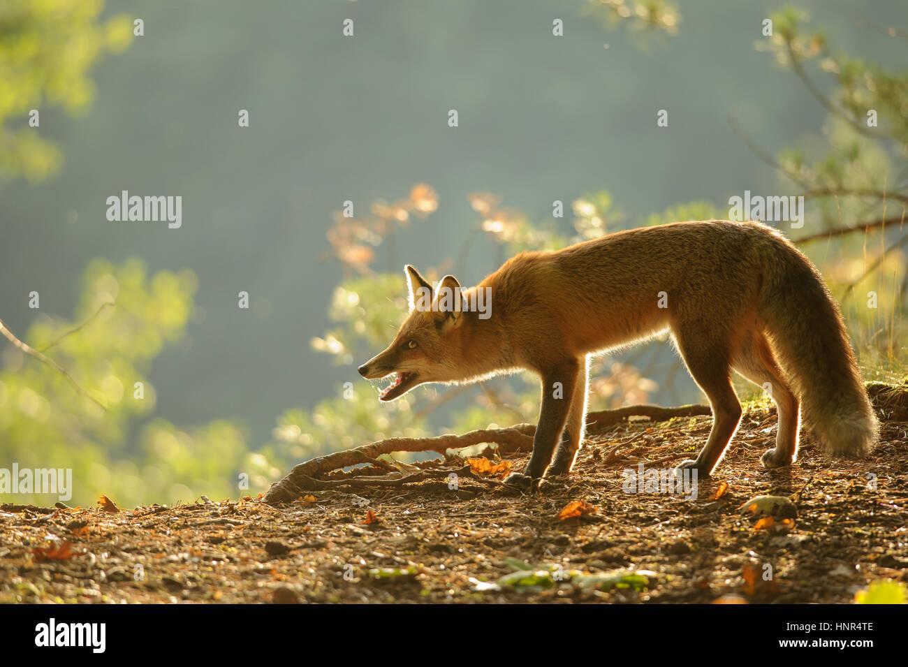Geduckte Rotfuchs in Schönheit Herbst Hintergrundbeleuchtung mit offenem Mund Stockbild