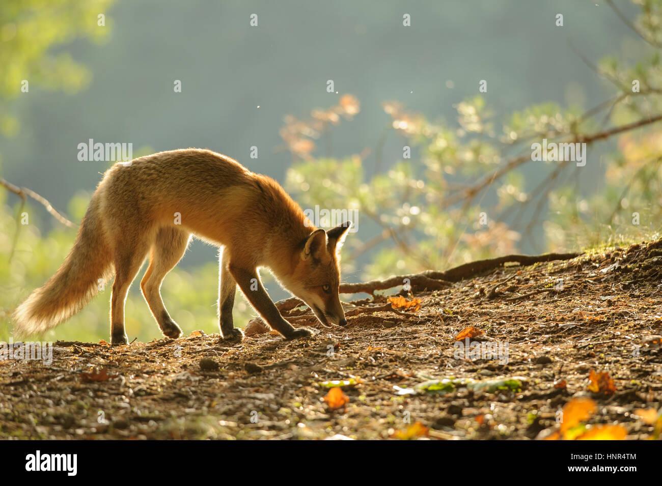 Rotfuchs im Herbst Hintergrundbeleuchtung Schönheit aus Seitenansicht schnüffeln Stockbild