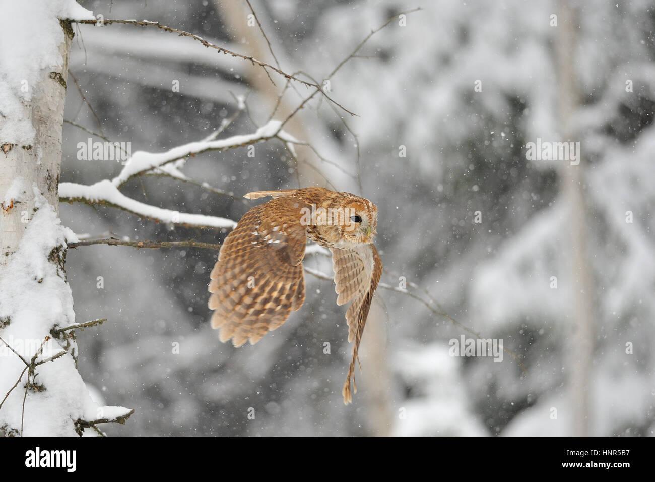 Fliegen im Winter Zeit Whne Waldkauz schneit Stockbild