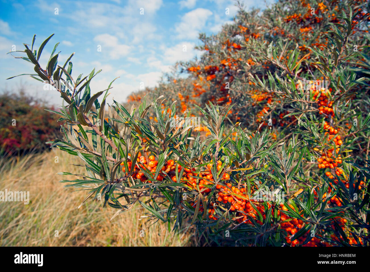 Sanddorn (Hippophae) in voller Berry. Lincolnshire coast Stockfoto