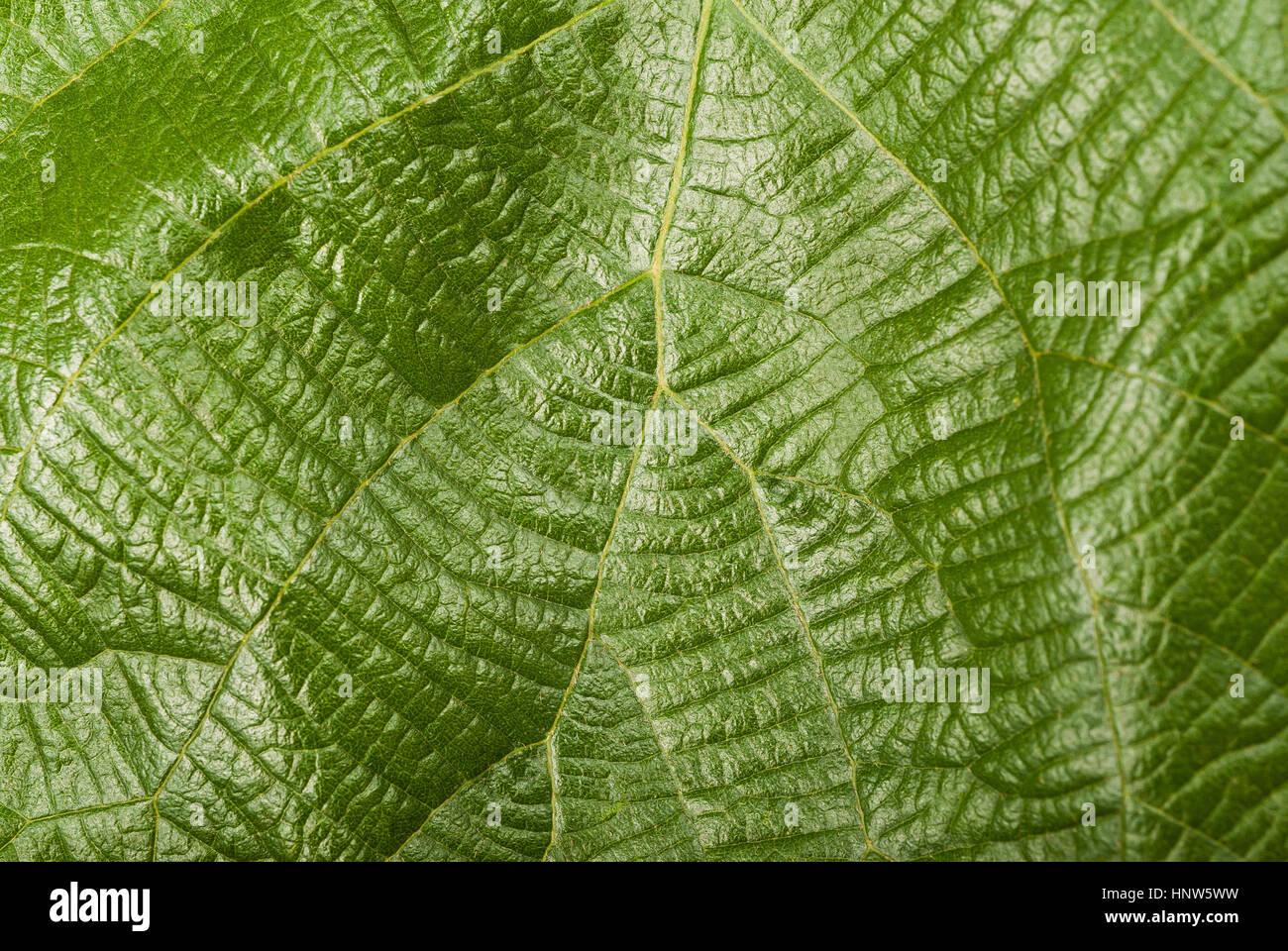 Grünen Hintergrund der Kiwi-Blatt Stockbild