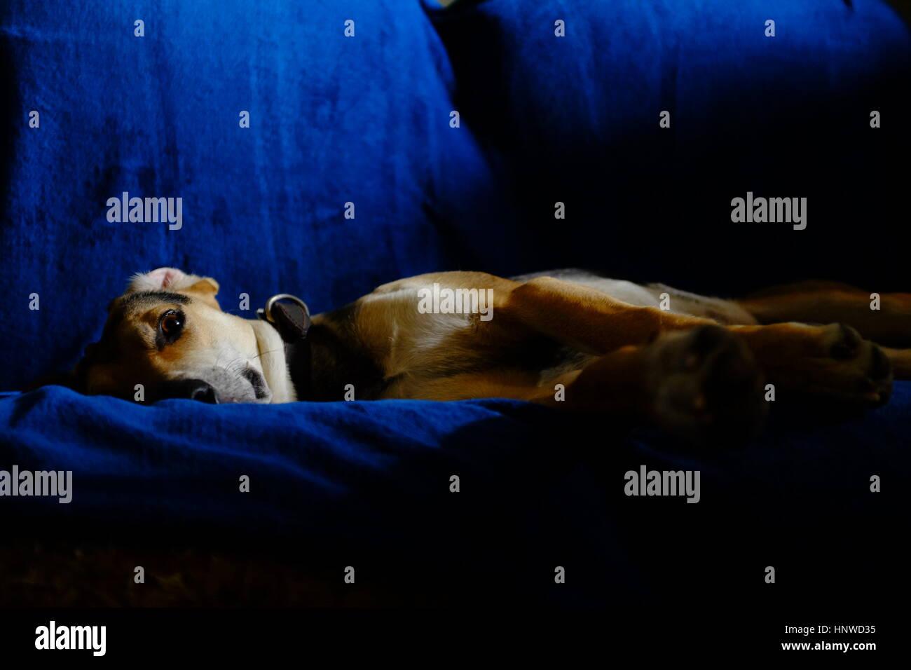 Hund ruht auf einer blauen couch Stockbild
