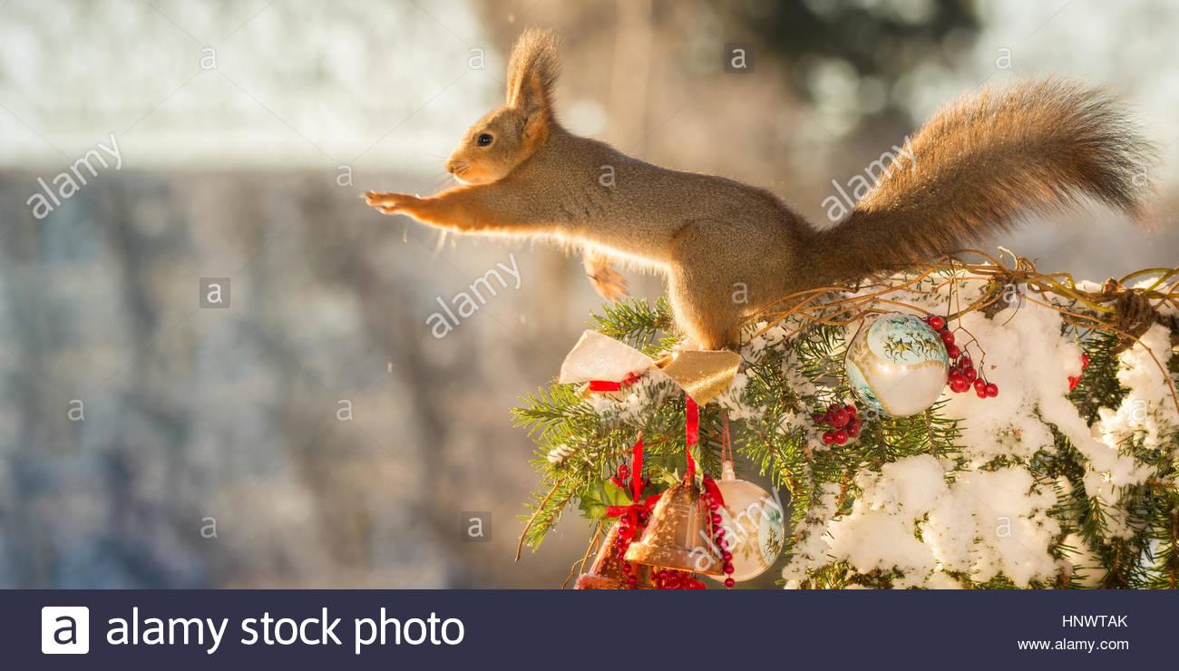 Nahaufnahme von roten Eichhörnchen stehend auf Ast mit Schnee und ...
