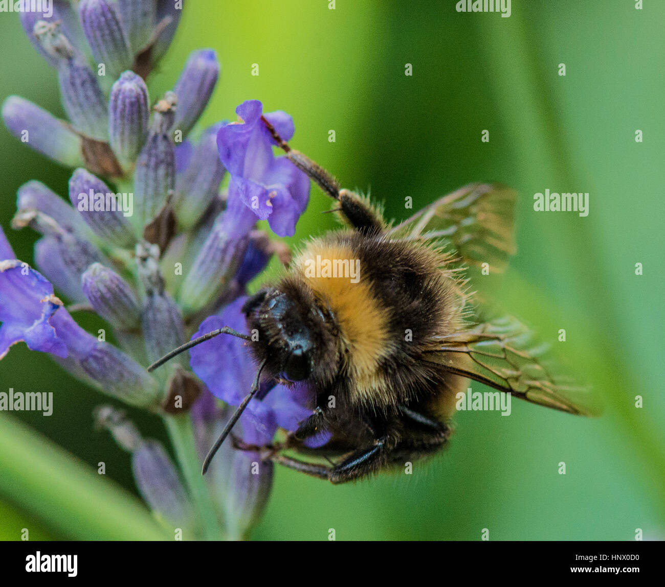 Bumble Bee Pollen sammeln aus dem Garten Blume Stockbild