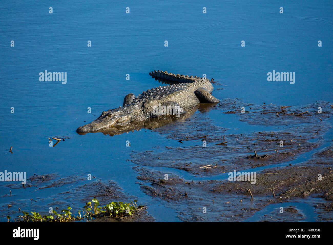 Krokodil auf dem La Chua Trail im Paynes Prairie zu wahren Zustand zu bewahren in Gainesville Florida Stockbild