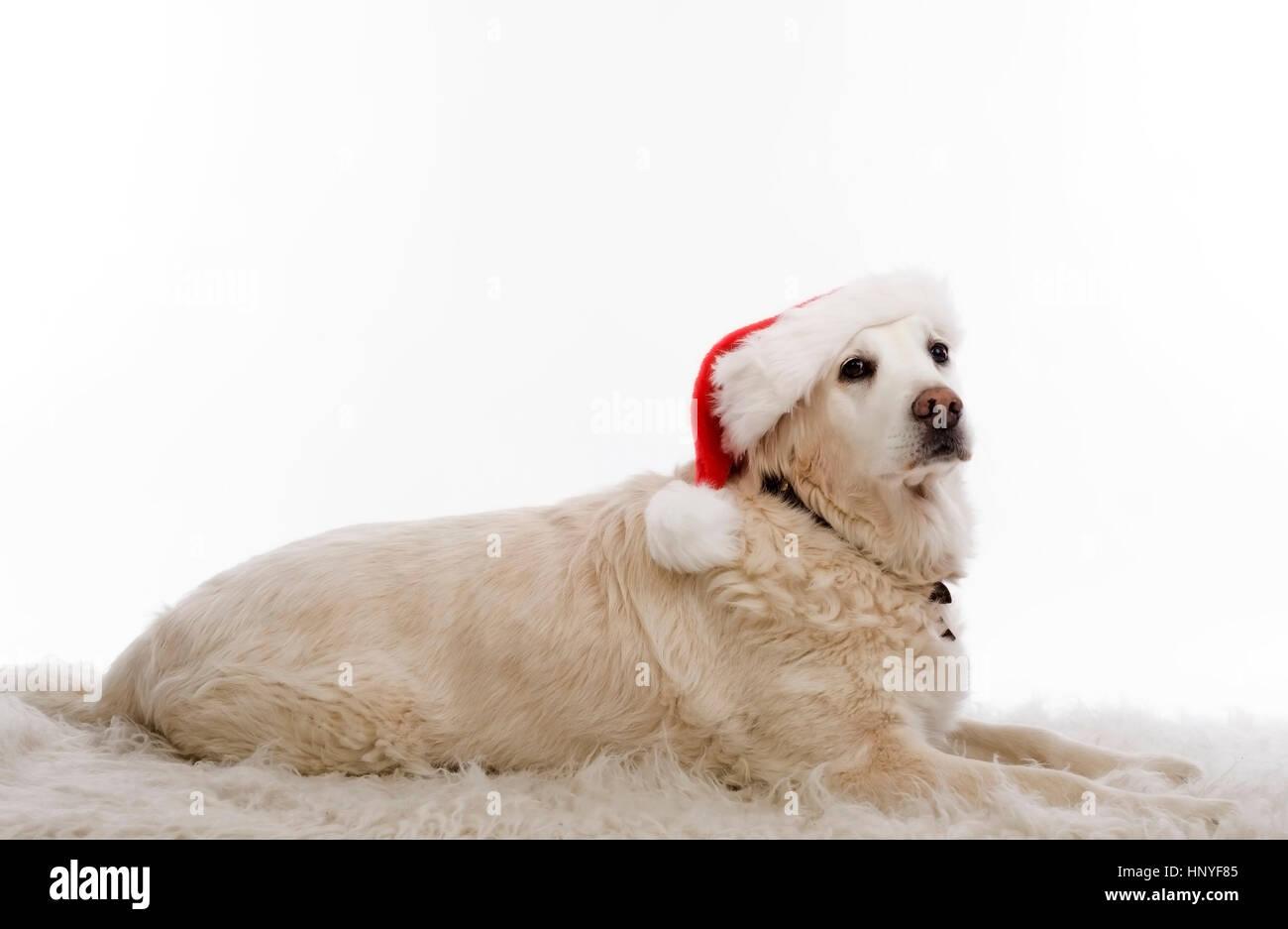 Weihnachtshund - Weihnachten Hund Stockfoto, Bild: 133985045 - Alamy