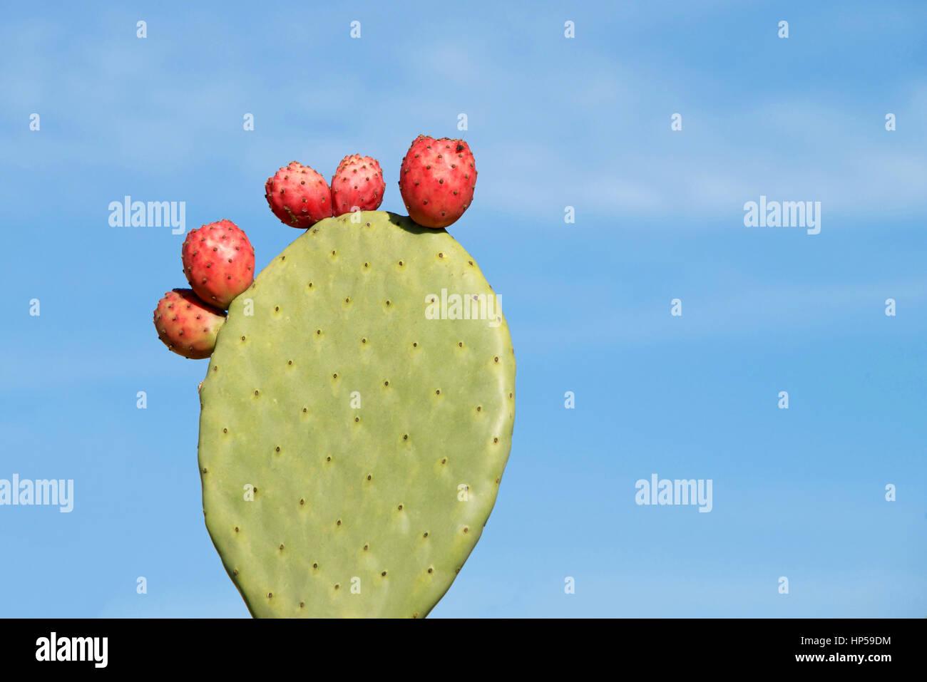 Indische Feigen Opuntia Kaktus, der Begriff Feigenkaktus ist die am weitesten verbreitete Bezeichnung dafür. Stockbild
