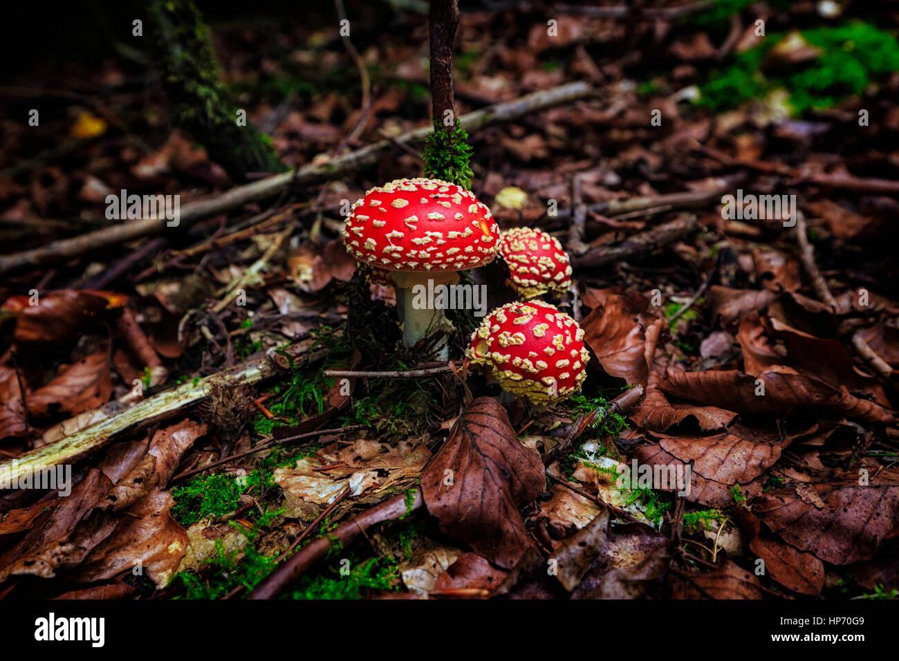 Amanita Pilz In den Thüringer Wald, Deutschland Stockbild