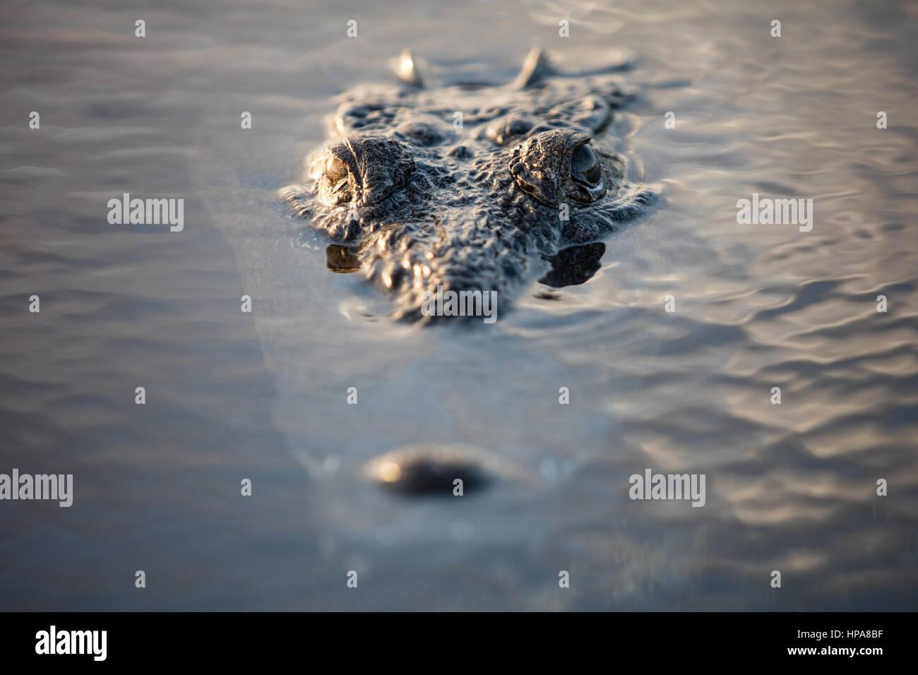 Eine schleichende Spitzkrokodil liegt knapp unter der Oberfläche einer Lagune vor der Küste von Belize. Stockbild