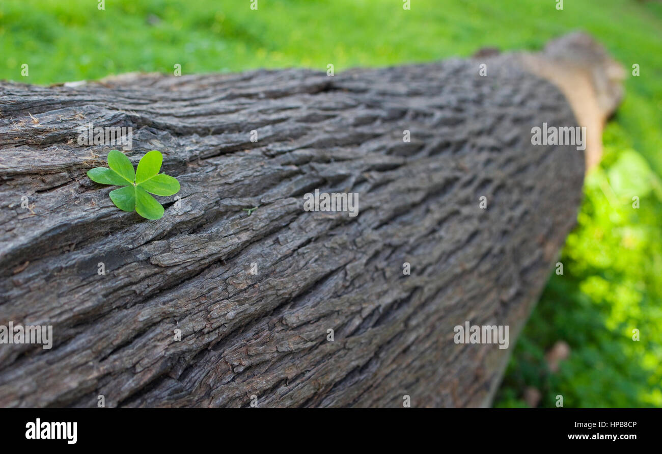 Ein drei-blätterte Kleeblatt auf einem Baumstamm. Stockbild