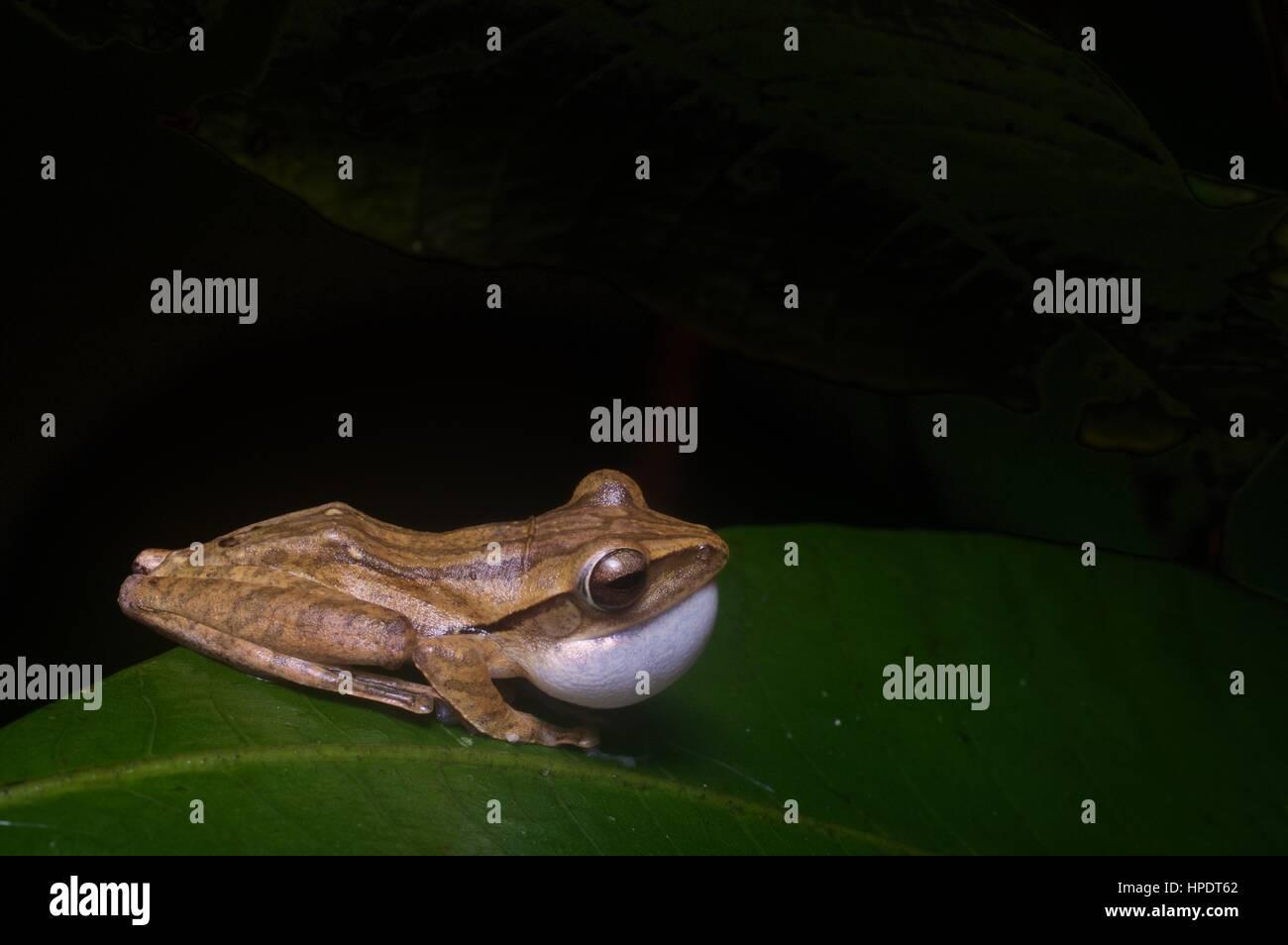 Eine aufrufende männlichen vier gesäumten Laubfrosch (Polypedates Leucomystax) im Regenwald in der Nacht Stockbild