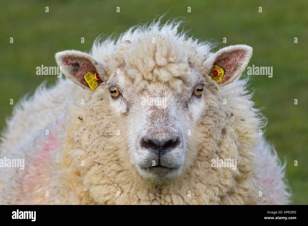Nahaufnahme von tagged weißes Schaf Ewe mit zwei gelben Ohrmarken / Ohr-Marken Stockbild