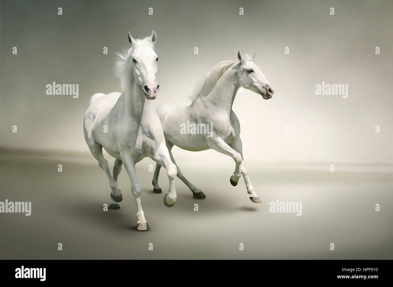 Lieblings Weiße Pferde auf stilvollen Hintergrund isoliert. Bild eignet sich &HU_18