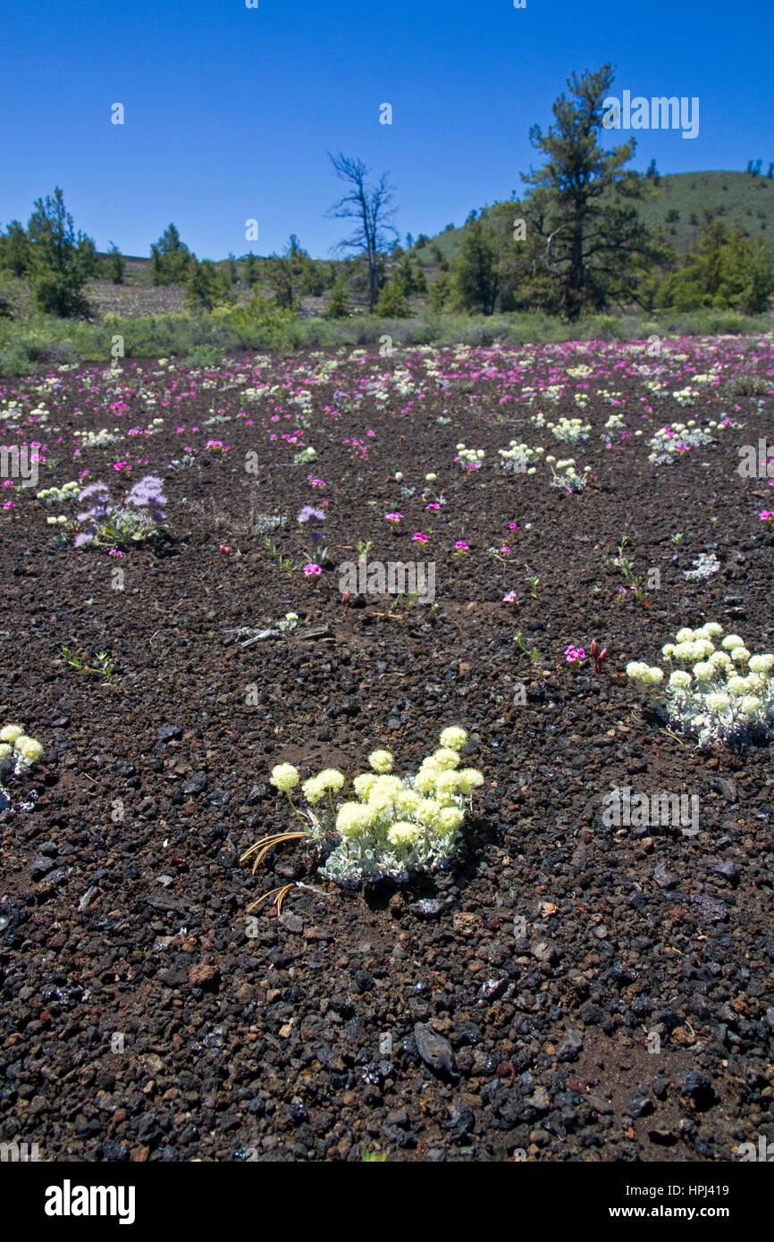 Wildblumenwiese im Krater des Moon National Monument Stockfoto