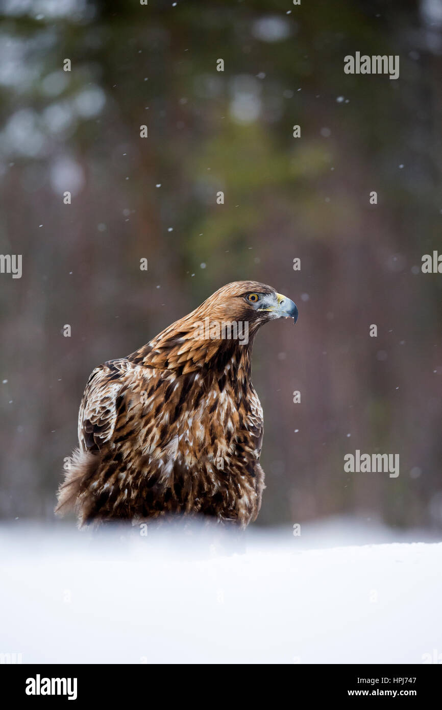 Steinadler (Aquila Chrysaetos) im Schnee Stockbild