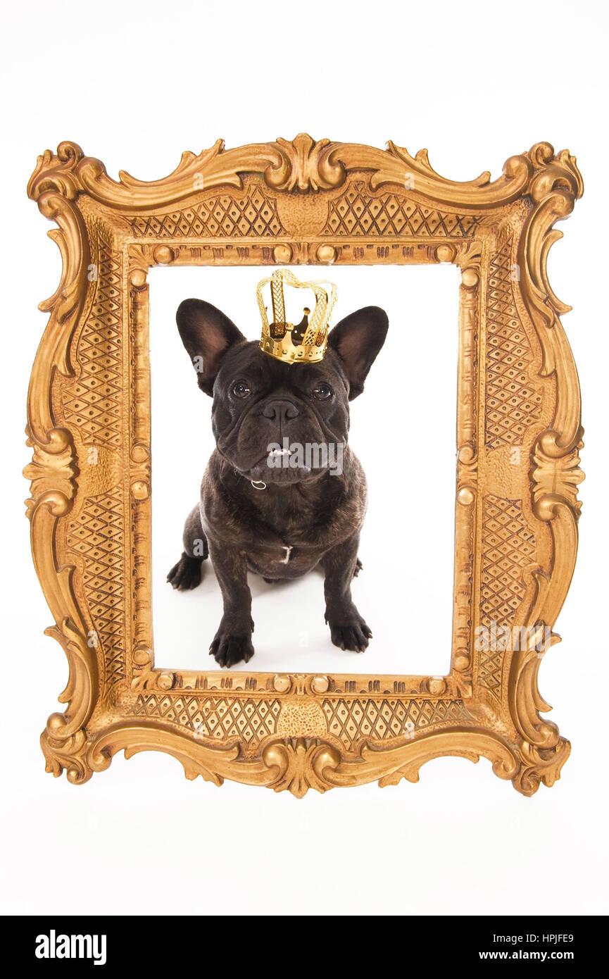 Franzoesische Bulldogge Mit Krone Im goldenen Bilderrahmen ...